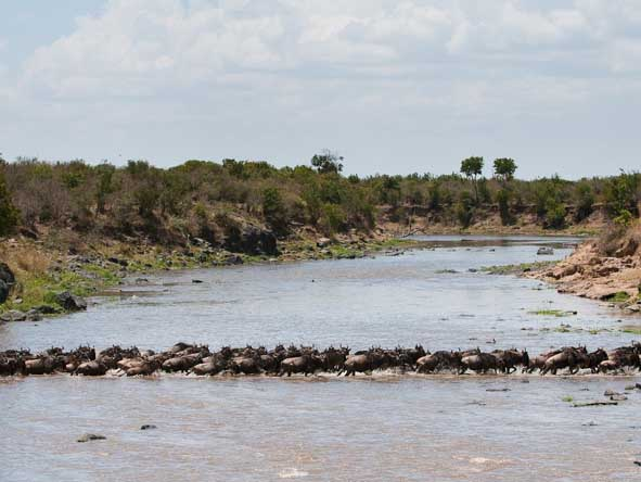 Crashing across croc-infested rivers, the wildebeest move as fast as they can.