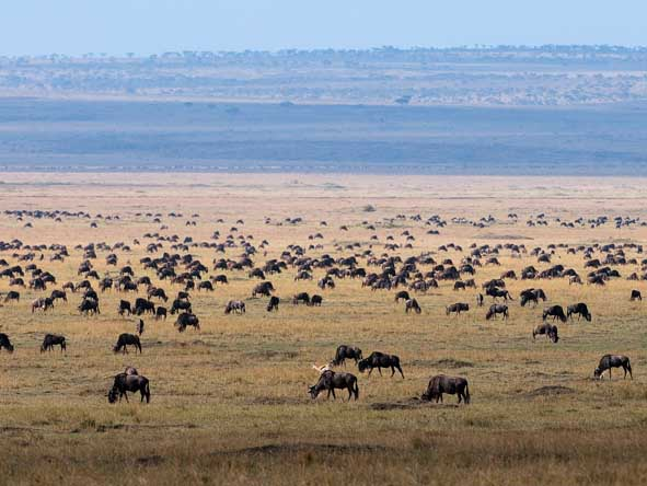 Grazing herds spread out across the savannah, always keeping an eye out for predators.
