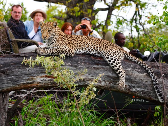 The most elusive of the Big 5, leopards are however commonly seen in the Sabi Sands.