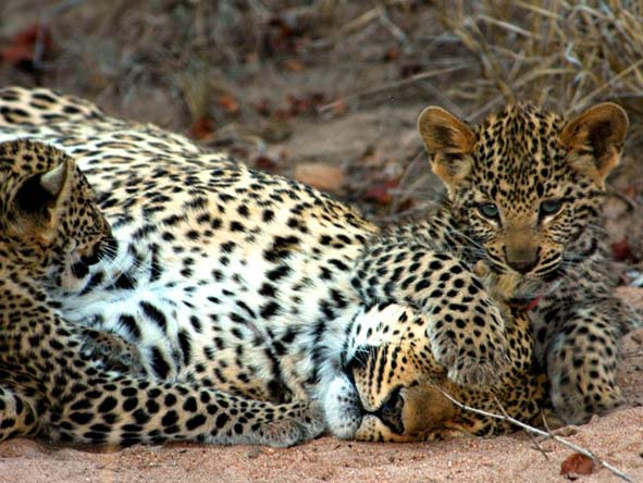 Leopards in Kruger's private reserves are less shy than most  - sightings may be sensational.