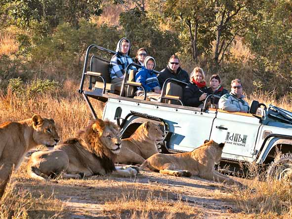 Early-morning game drives are the best way to catch lions still on the move.
