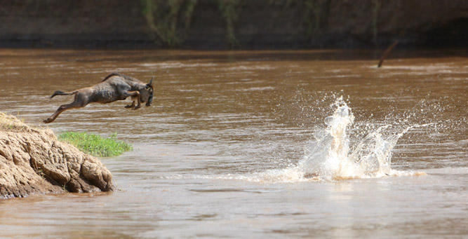 Migration Round Up with - a lone wildebeest takes a plunge