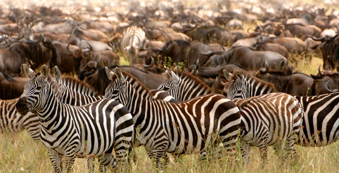 Migration Round Up with - zebras join the throng