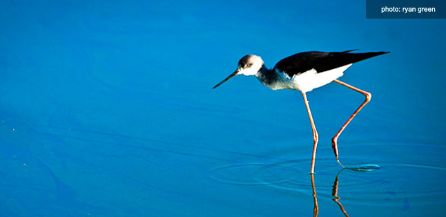 How to photograph birds on safari - Black-winged Stilt