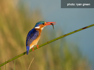 How to photograph birds on safari - Malachite Kingfisher
