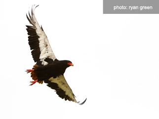 How to photograph birds on safari - Bateleur