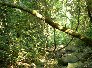 Off the Beaten Track in Mahale -  the dense forests provide a challenge.