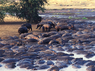 Off the Beaten Track in Ruaha - huge herds of hippo