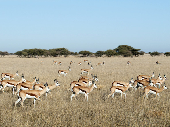 Luxury Kalahari Desert Expedition - Springbok