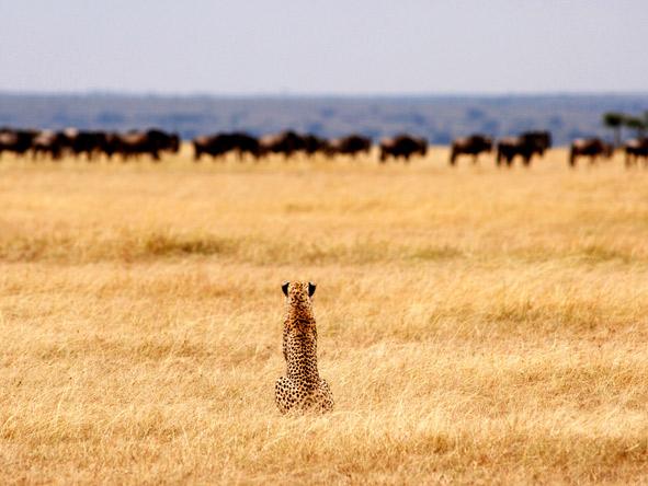 Serengeti Safari Camp - Predators