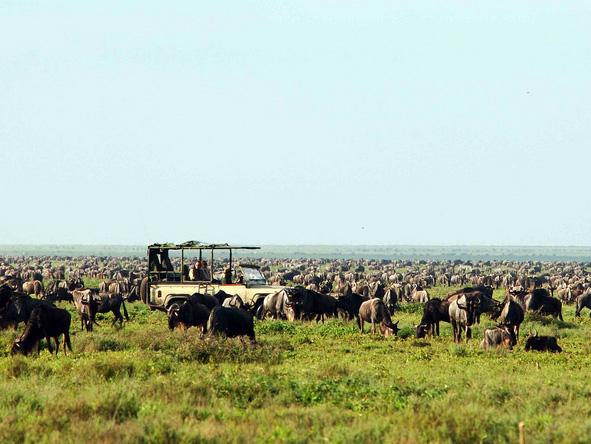 Serengeti Safari Camp - Wildebeest & zebra herds