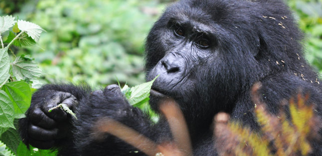 Bwindi Impenetrable Forest - go gorilla trekking in Uganda