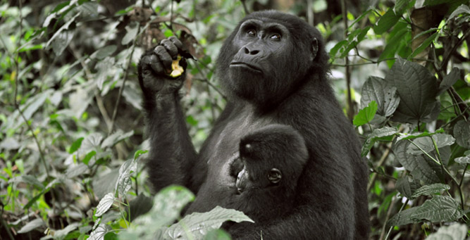 Gorilla Trekking 101 - a mother and baby sit and eat