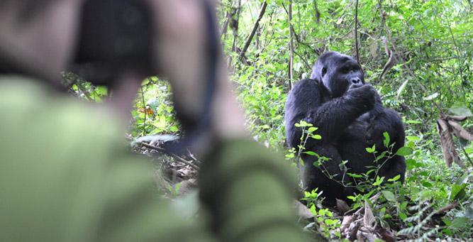 Gorilla Trekking 101 - the impressive male silverback