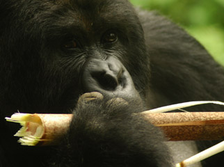 Gorilla Trekking 101 - a gorilla eating a bamboo shoot