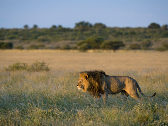 Botswana Summer Encounter - Big lions