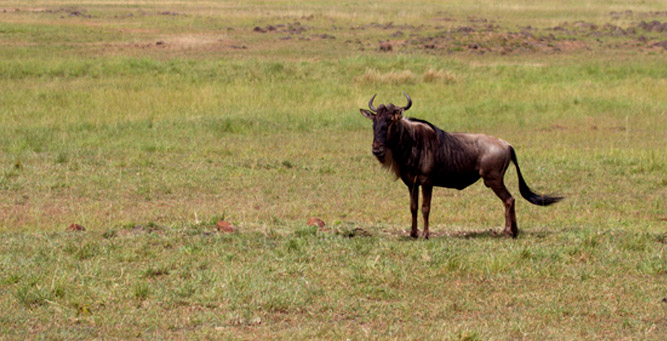 Kenya Travel Diary - a lone wildebeest waits his chance