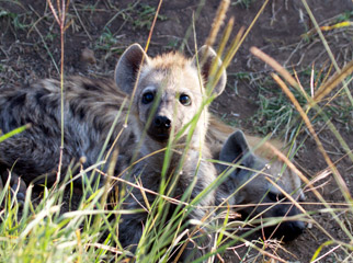 Kenya Travel Diary - a curious hyena youngster