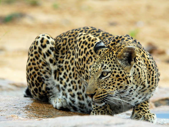 It is widely considered that the Sabi Sands is the best place in Africa to see leopards - frequently and within good visibility.