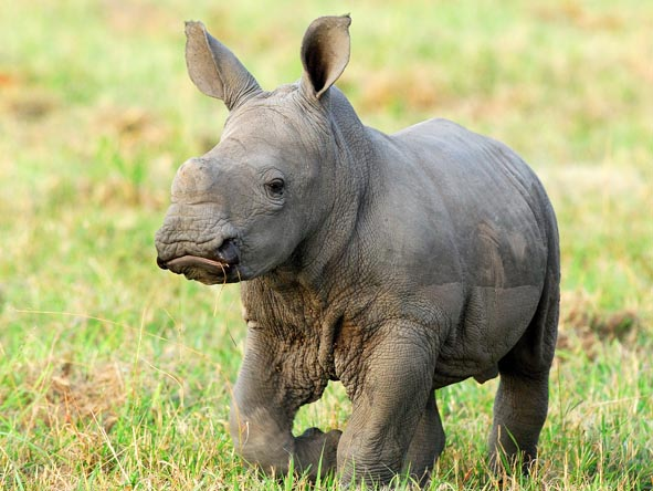 A young rhino frolicks in the short grass; as one of the members of the Big 5, rhino sightings are highly sought after in the Sands.