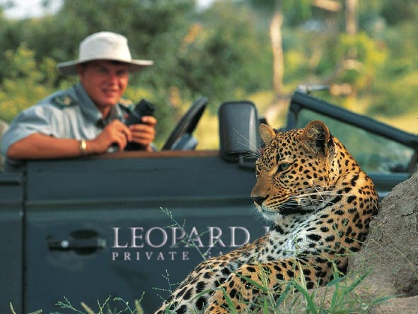 Leopards can even be spotted in the middle of the day, even though they are known nocturnal animals.