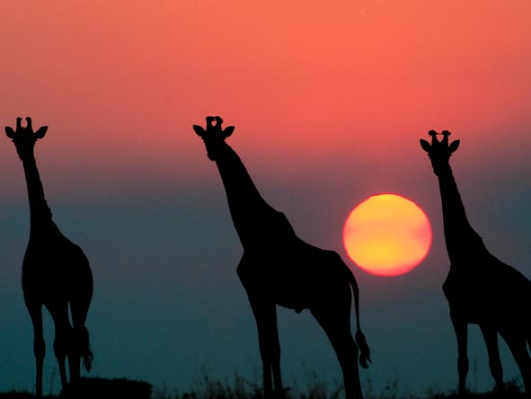 Giraffes stand silhouetted against a beautiful pink and purple sunset.