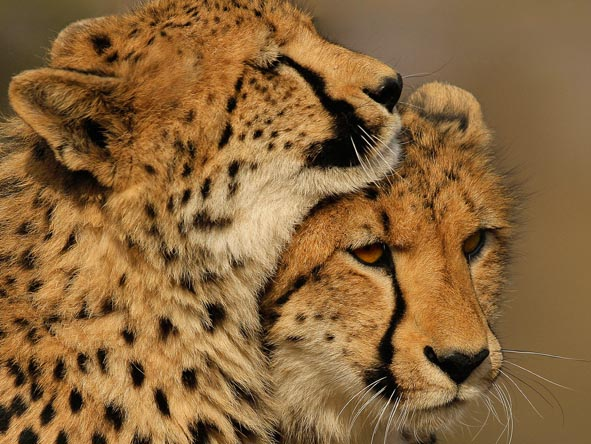 While considered less impressive than a leopard, cheetah are in fact harder to see in the Sabi Sands - consider it a real prize if you do.