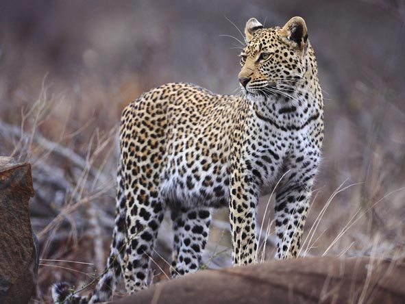 A lone leopard is spotted in the reserve, its alert posture indicating its awareness of prey.