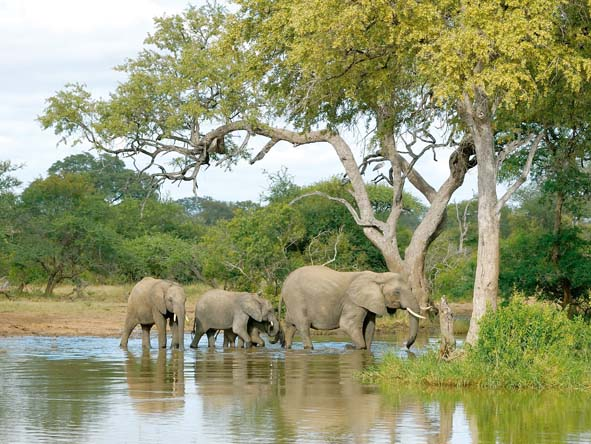 A herd of elephants make their way through the water to the opposite bank.