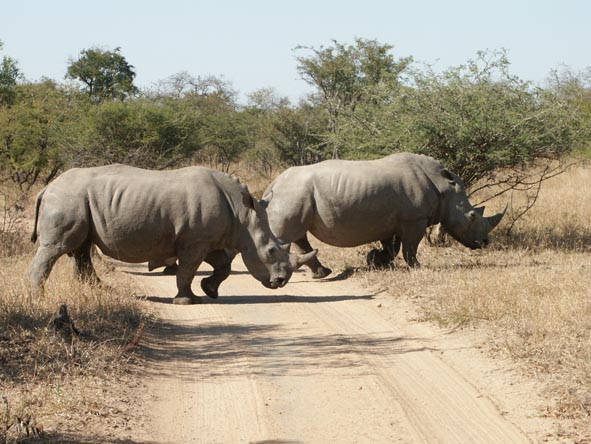 Two rhino bulls cross the road in Thornybush Game Reserve, their bulk deceptive of their speed and agility.