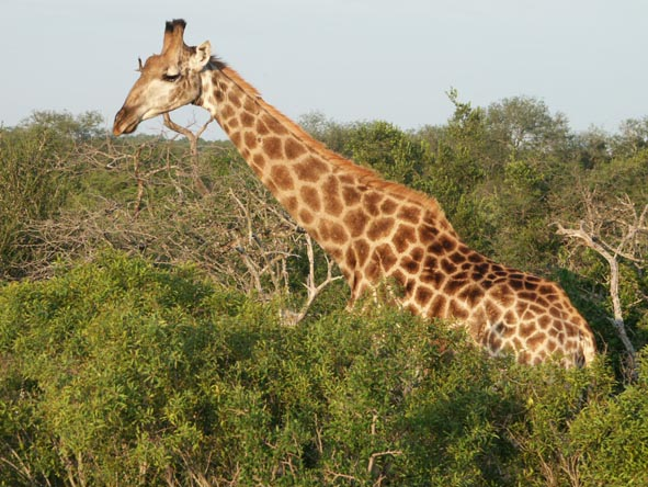 A lone giraffe bull nibbles on the treetops in the reserve.