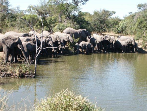 A large elephant herd drinks from a very full waterhole; big herds like this are often seen in the Thornybush region.