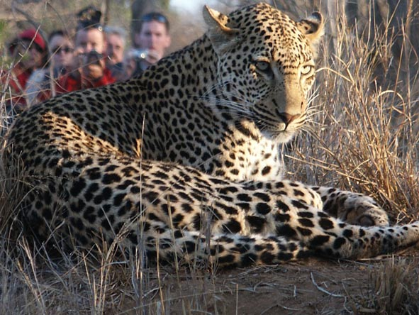 As Thornybush is within the Sabi Sands, leopard sightings are fairly common - however they are still so very rewarding.