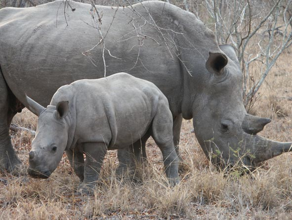 A rhino mother and calf stick close together; mothers can be very protective of their very young calves.