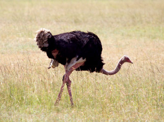 Is it Kenya or Kenya? An ostrich wanders the savannah