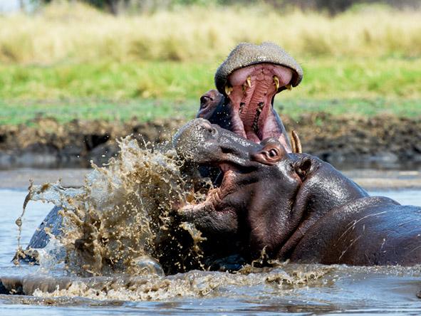 Shumba Bush Camp - Hippos