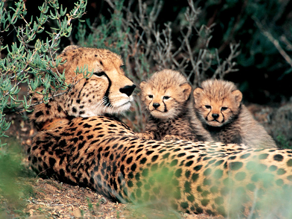 Exclusive Cape Romantic Journey - Cheetahs