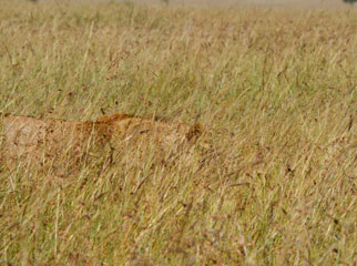 Lion Camouflage in the Mara - a male almost hidden