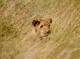 Lion Camouflage in the Mara - a female raises her head