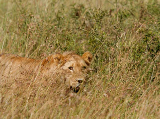 Lion Camouflage in the Mara - the male emerges