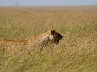 Lion Camouflage in the Mara - she blends in so well