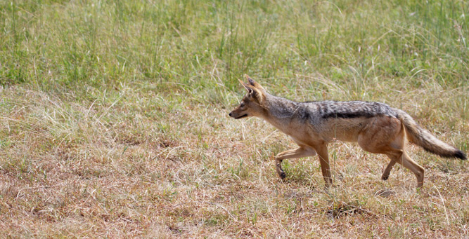 Jackal Hunting in the Masai Mara - on the hunt