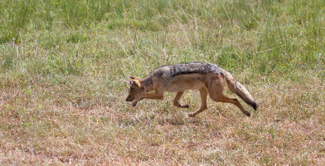 Jackal Hunting in the Masai Mara - smelling for prey