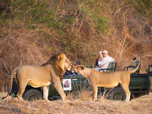Lion Camp - Big cat sightings