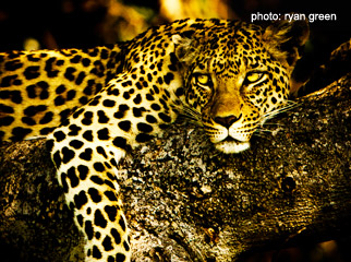 How to Get the Most from Your Camera - leopard