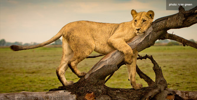 How to Get the Most from Your Camera - lioness