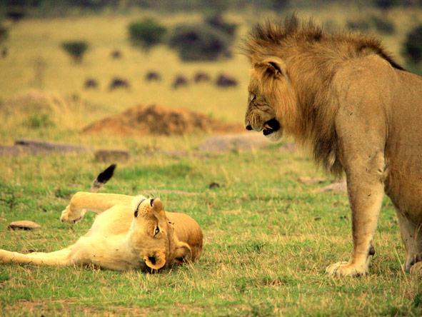 Mahali Mzuri - Big cat predators