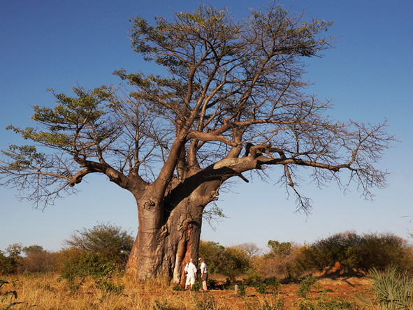 Cape Town, Botswana & Vic Falls Bliss - Baobab Trees