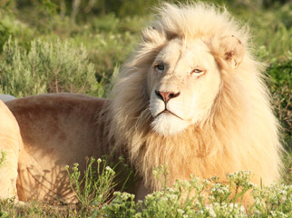 A Guide to Your First South African Safari - White lions