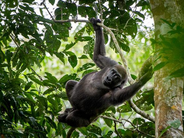 Ngaga Camp - Western lowland gorillas